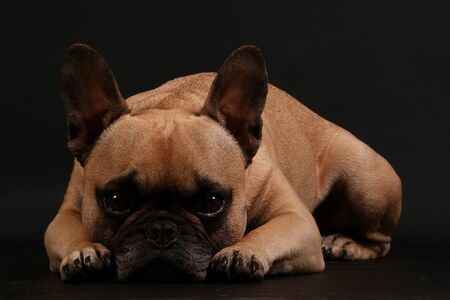 Beautiful brown french bulldog is lying in the dark studio and looking into the camera Zdjęcie Seryjne
