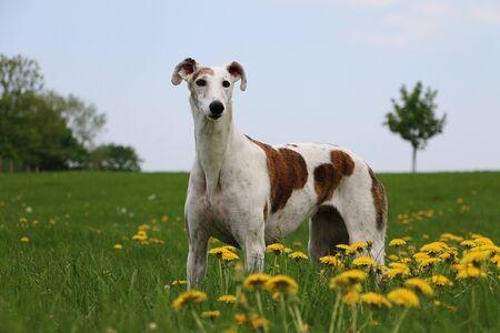 Beautiful galgo is standing in the garden in a field of dandelions