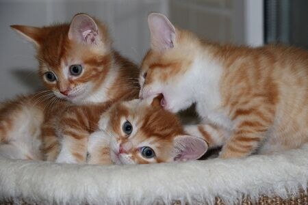 Three funny little red and white kittens are playing on a scratching post