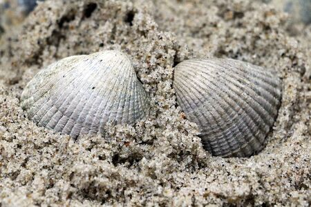 Two white mussels are lying in the sand at the beach