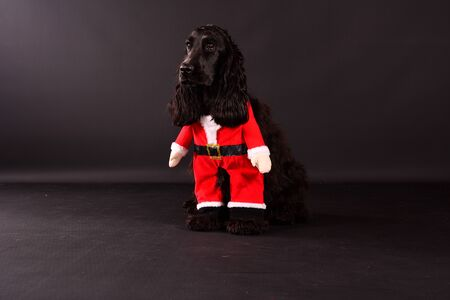 Beautiful black cocker spaniel is sitting in the dark studio with a santa clause costume