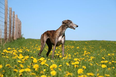 Beautiful galgo is standing in a field of yellow dandelions
