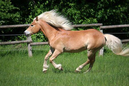 Haflinger pony runs on a fenced field Reklamní fotografie