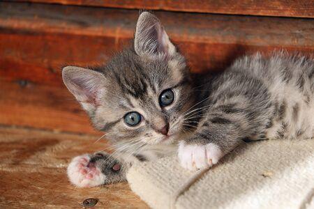 Cute head portrait of a gray kitten baby in front of a wooden wall Stok Fotoğraf