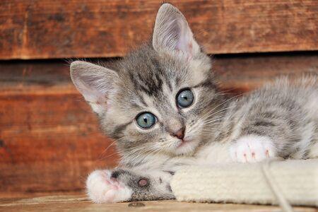 Cute head portrait of a gray kitten baby in front of a wooden wall Stok Fotoğraf - 133512648