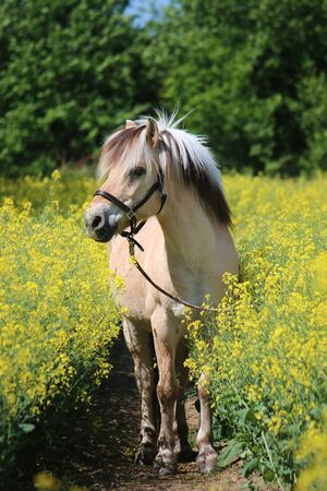 Pretty fjord pony stands in a rape field Reklamní fotografie