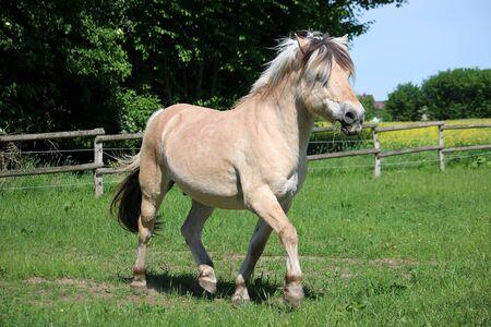 Pretty fjord pony walks on a fenced field Reklamní fotografie
