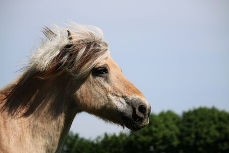 Head portrait of a fjord horse