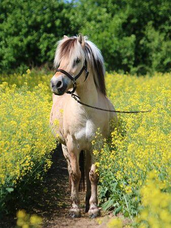 Pretty fjord pony stands in a rape field Stok Fotoğraf - 133512659