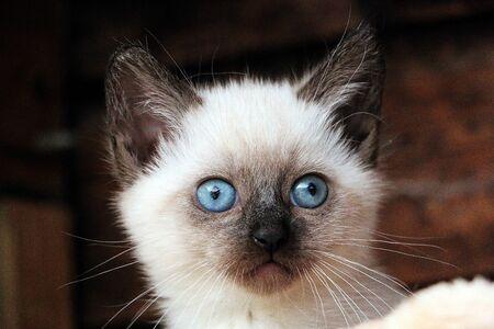 Cute sacred burmese kitten head portrait Stok Fotoğraf - 133512660