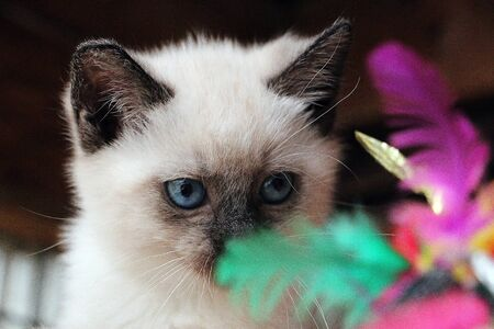 Cute sacred burmese kitten head portrait