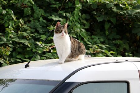 Cute cat sits on the roof of a car in the sun Stok Fotoğraf - 133512663