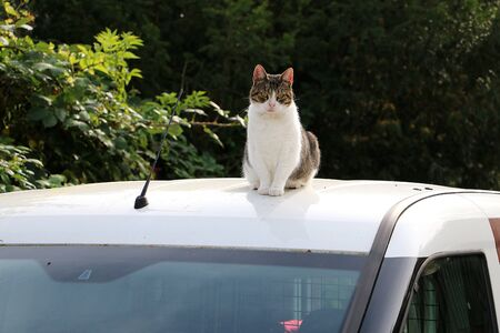 Cute cat sits on the roof of a car in the sun Stok Fotoğraf - 133512664