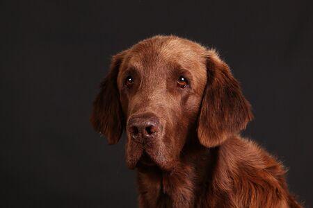 Handsome brown coated retriever head portrait against a dark background