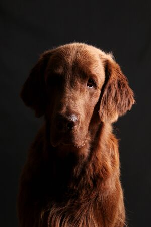 Handsome brown coated retriever head portrait against a dark background Stok Fotoğraf - 133512670