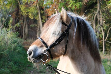 Head portrait of a fjord horse in the autumn forest Reklamní fotografie