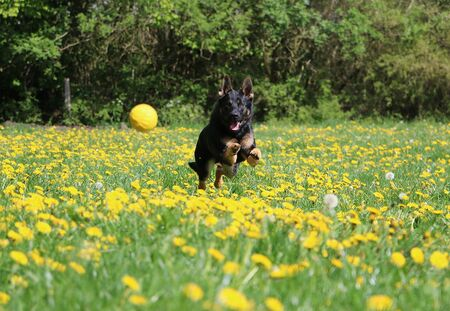 Black shepherd dog runs in a meadow with yellow dandelions behind a flying yellow ball