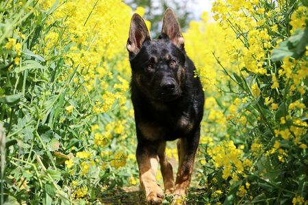 Black german shepherd walks through a blooming rape field Stok Fotoğraf - 133512732