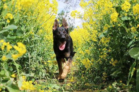 Black german shepherd walks through a blooming rape field Stok Fotoğraf - 133512733