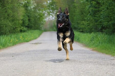 Black shepherd dog runs on a lonely road