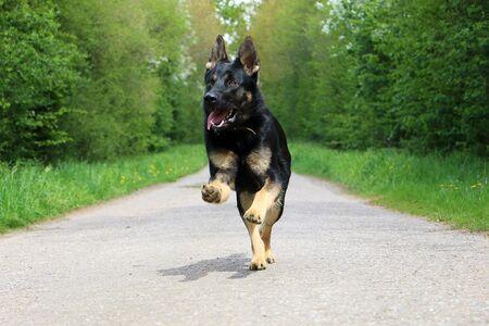 Black shepherd dog runs on a lonely road