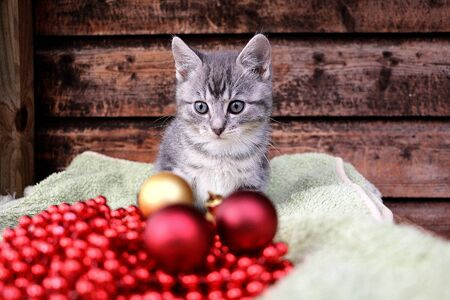 Little gray kitten sits behind red and golden christmas balls