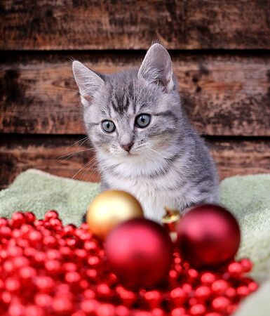 Little gray kitten sits behind red and golden christmas balls Stok Fotoğraf - 133512735