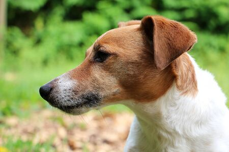 Close-up of the head of a brown-jack russell terriers in the garden