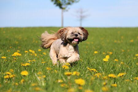 Pretty little lhasa apso running through a field full of buttercups Stok Fotoğraf - 136052904