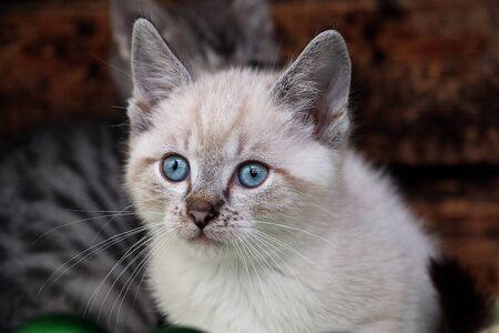 Beautiful little girl in a kitten portrait with shiny blue eyes