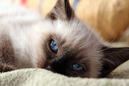 Closeup of a beautiful Burmese kitten with blue eyes Stok Fotoğraf - 136052911
