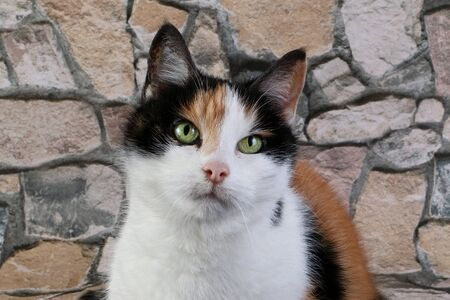 Pretty tricolor cats portrait in front of a stone wall