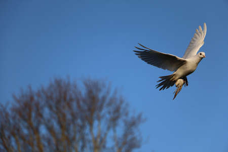 Beautiful white dove is flying at the blue sky Stok Fotoğraf