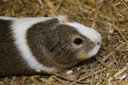 Close up of a head portrait from a small guinea pig