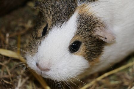 Close up of a head portrait from a small guinea pig Stok Fotoğraf - 137923247