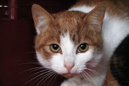 Close up of a red and white haired cat head 版權商用圖片