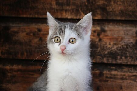 Funny small gray and white kitten head portrait in front of a wooden wall