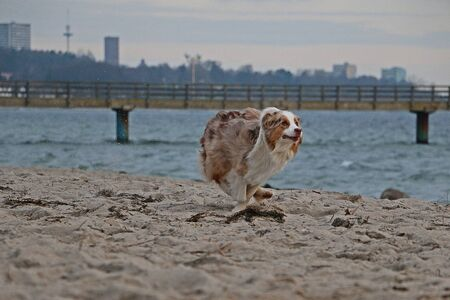 Beautiful red merle australian shepherd is running at the beach early in the morning 版權商用圖片