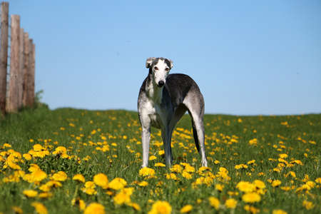 beautiful galgo is standing in the garden in a field of yellow dandelions