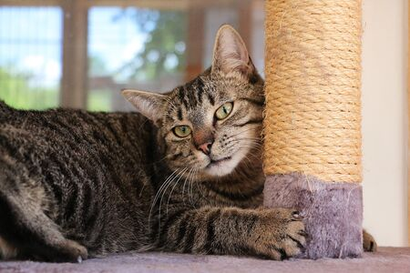 Beautiful cat is lying on a scratching post