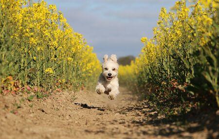 Small havanese dog is running in a yellow rape seed field Stok Fotoğraf