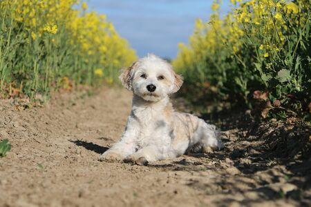 Small havanese dog is lying in a yellow rape seed field Stok Fotoğraf