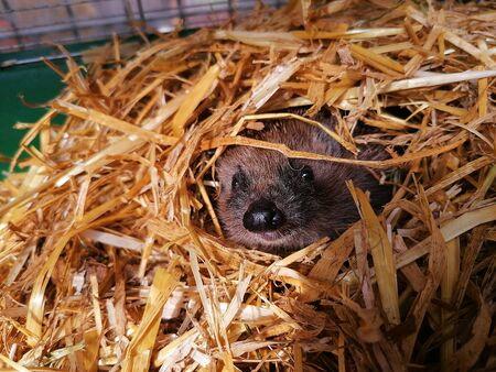 Close uo of a hedgehog in a haystack