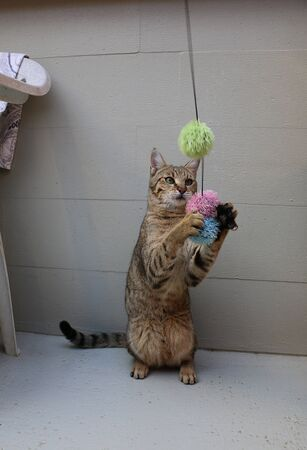 Funny playing cat with a toy