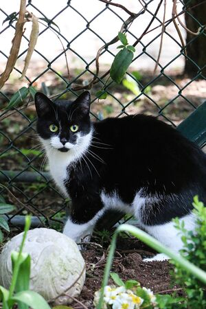 Beautiful black and white cat is standing in the garden in a flowerbed