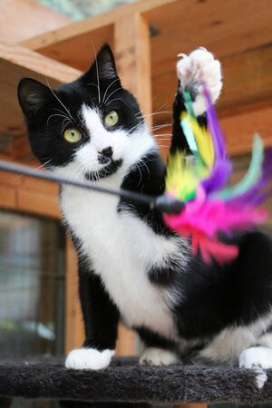 Small black and white cat is playing with a toy with colorful feathers