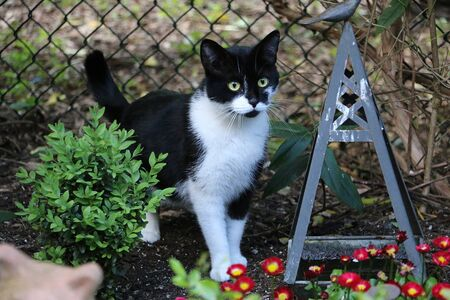 Beautiful small black and white cat is standing in a flowerbed in the garden