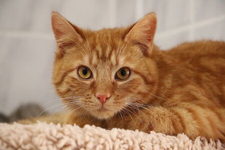Beautiful small red haired cat is lying on a scratching post and looks into the camera