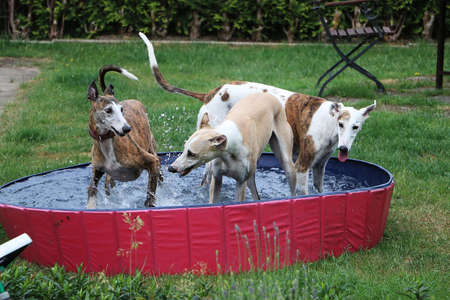three funny galgos are playing in the pool in the garden Stok Fotoğraf