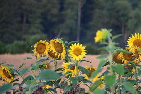 close up of a sunflower field